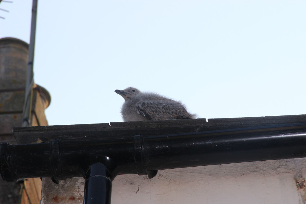 Seagull Chick on My Roof