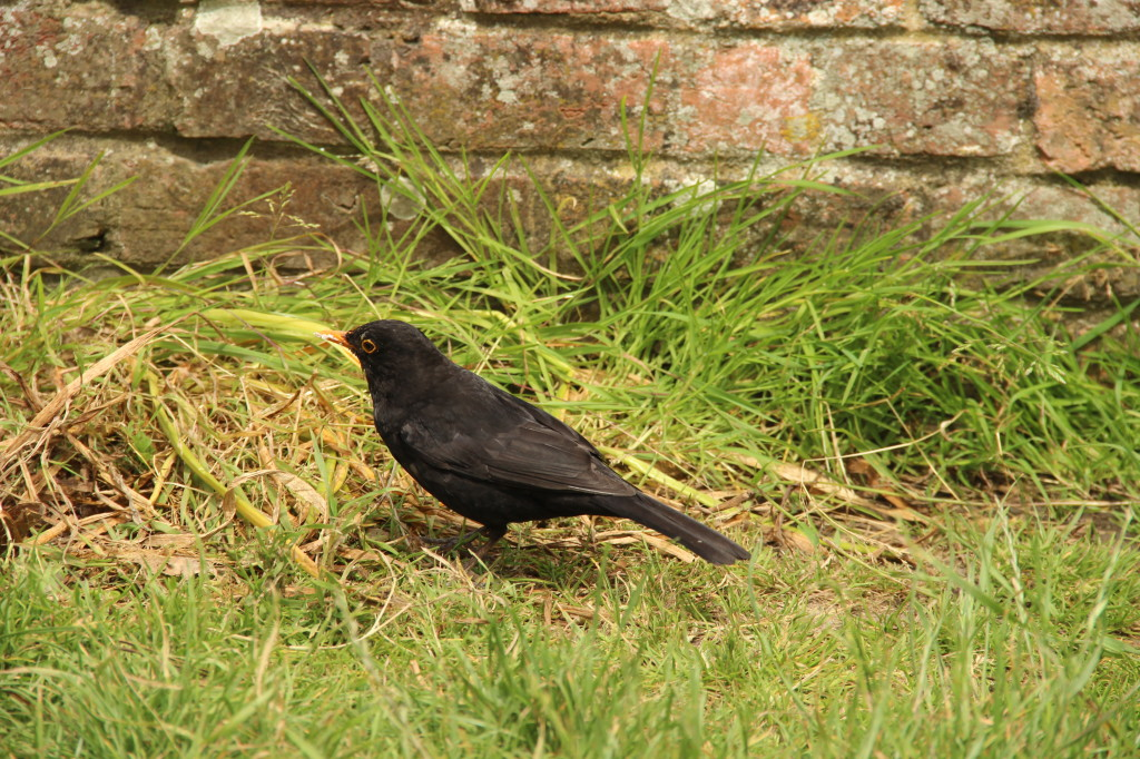 Blackbird With Unusual Colouration