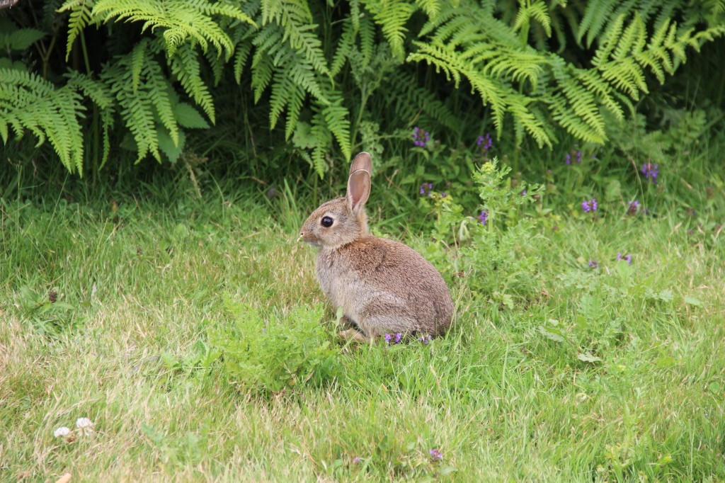 Young Rabbit - Pulborough Brooks