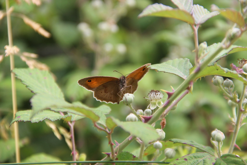 Meadow Brown - Pulborough Brooks