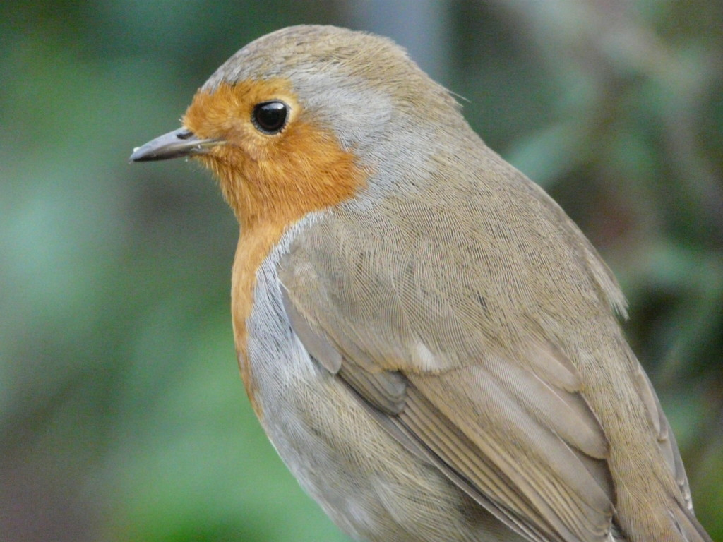 Robins are the Angels of the Garden