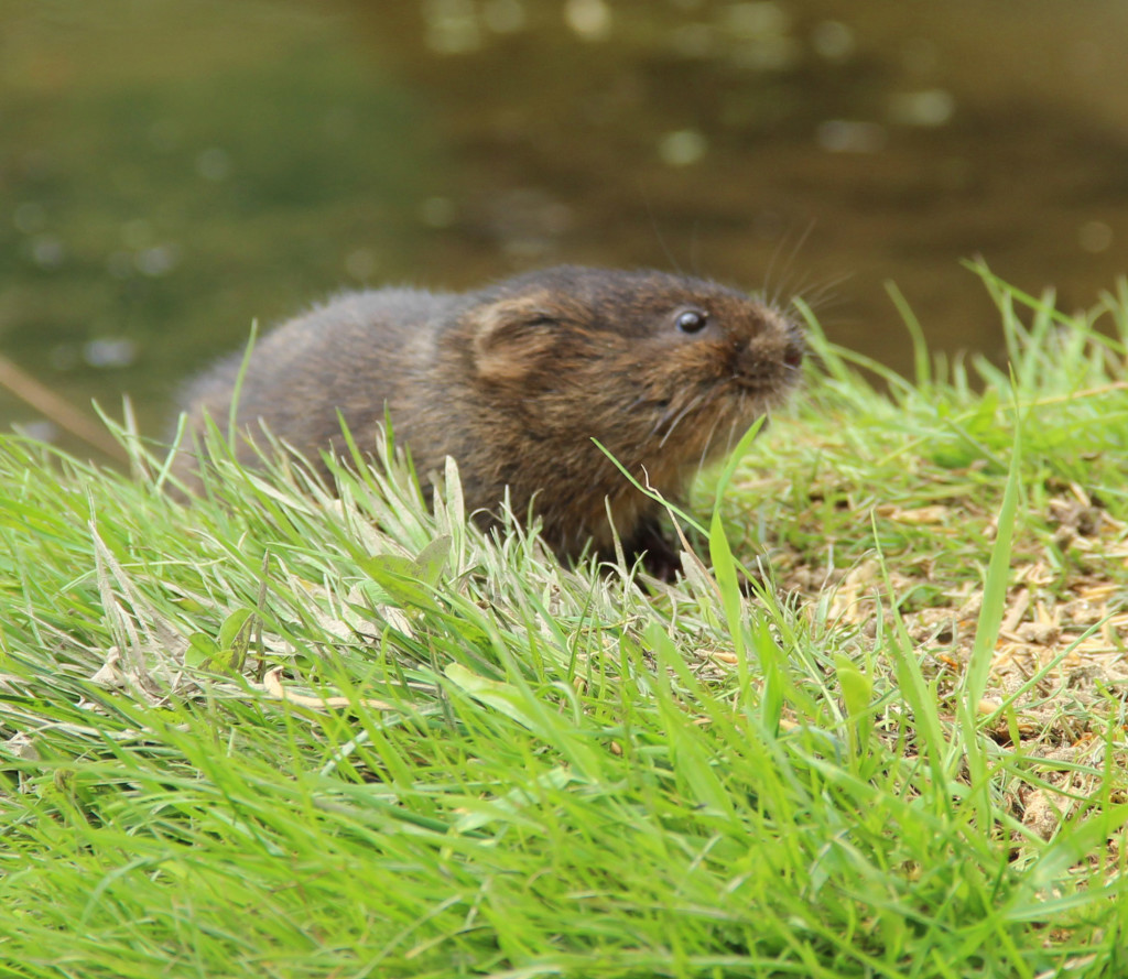 Cropped water vole